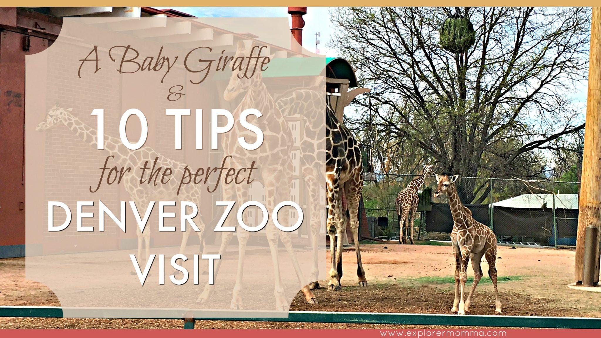 Baby Giraffe at the Denver Zoo