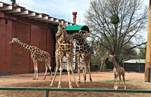 Denver Zoo giraffe family