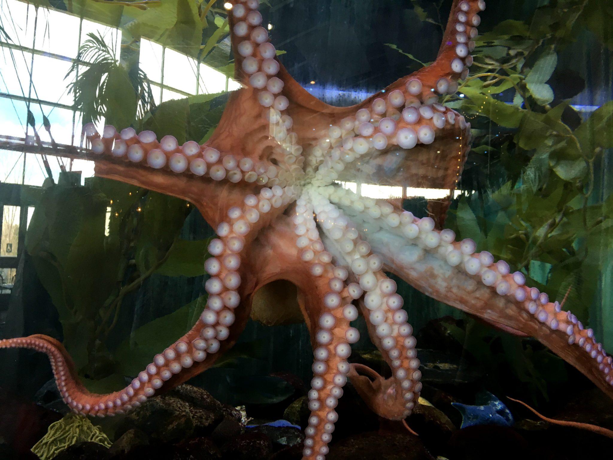 Giant Pacific Octopus, Aquarium fish, Denver Downtown Aquarium with kids