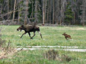 Grand Lake moose, best of 2017