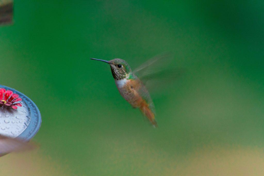 Things to do in Ruidoso, New Mexico, Hummingbird