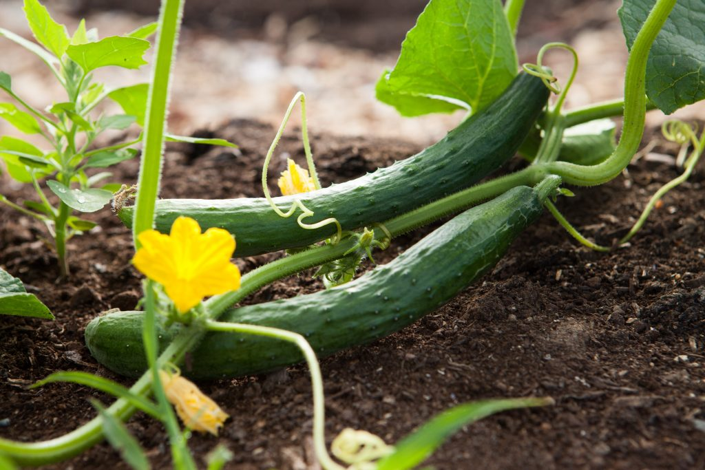 Two cucumbers with vines and yellow flowers