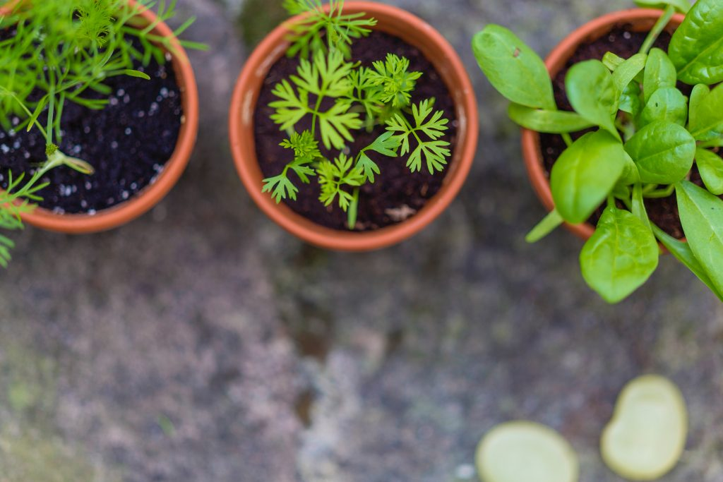 Overhead view of three pots in an herb garden