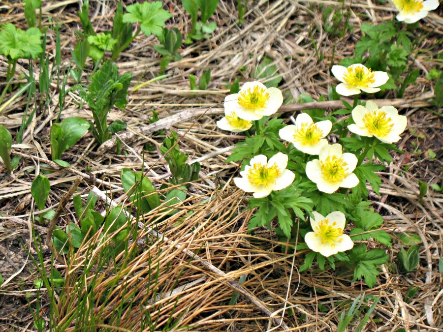 Grand Lake wildflowers