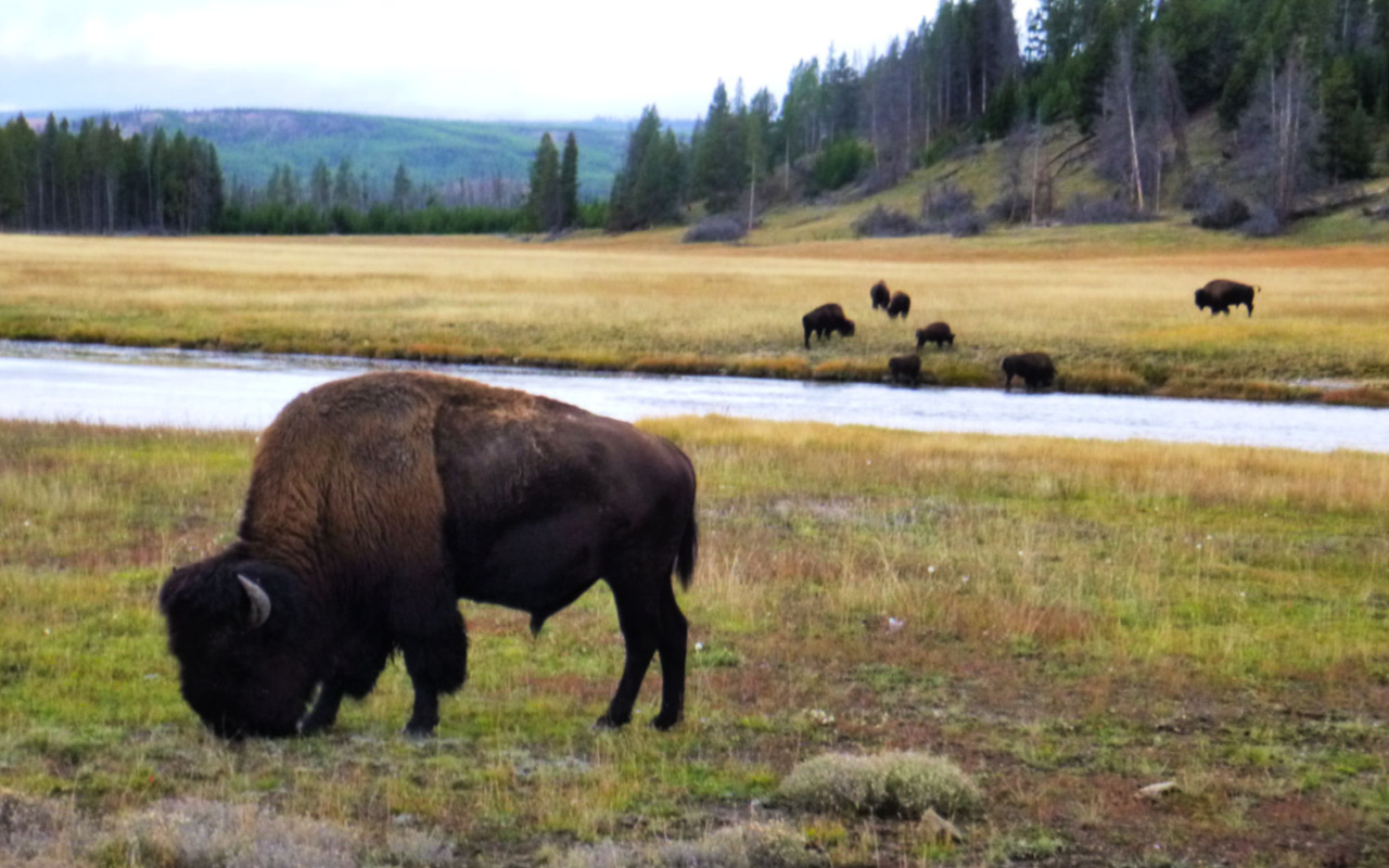 Yellowstone National Park buffalo, Wyoming #familytravel #usnationalparks