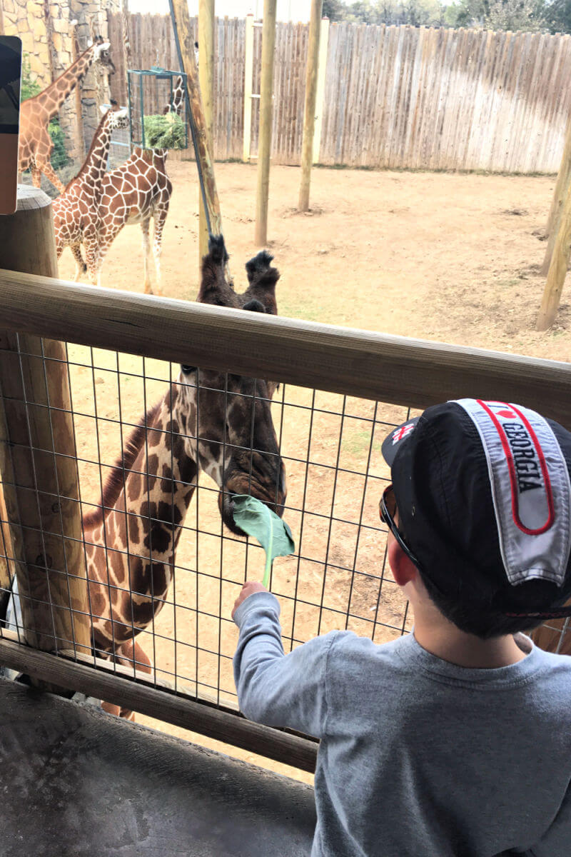 Feeding the giraffe at the Abilene Zoo #abilenezoo #abilenetravel