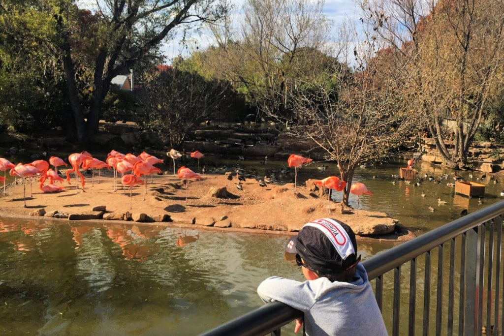 Kids look at flamingos at the Abilene Zoo #abilenezoo #familytravel