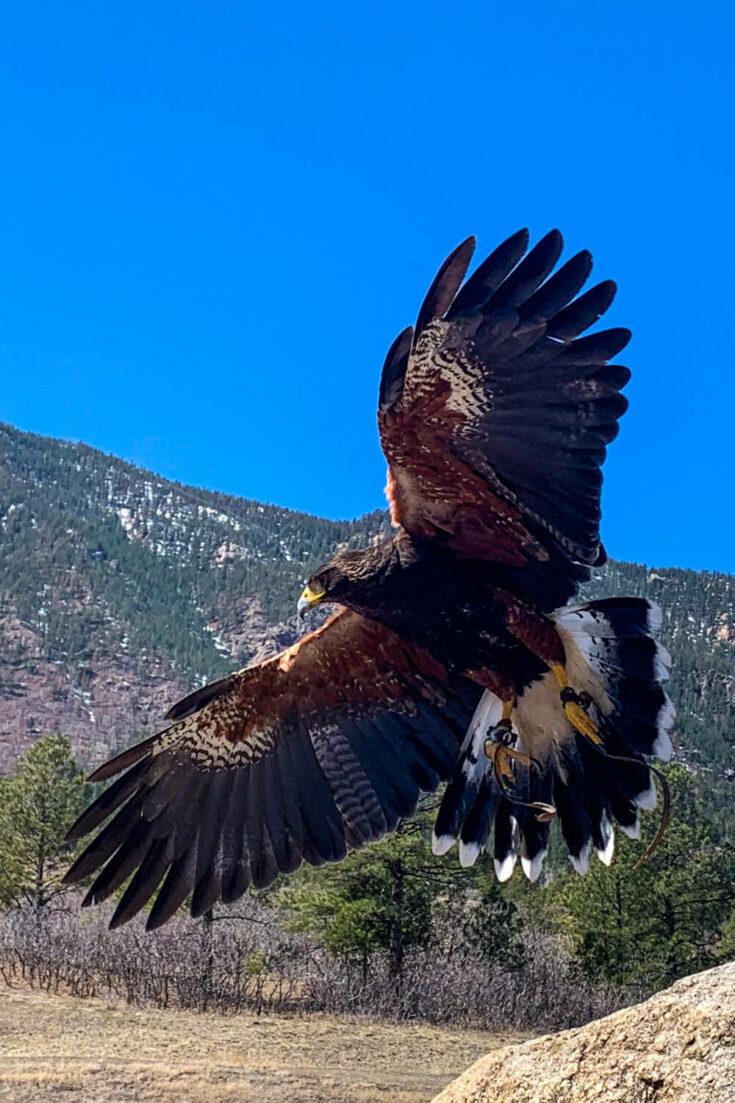 Goose the hawk