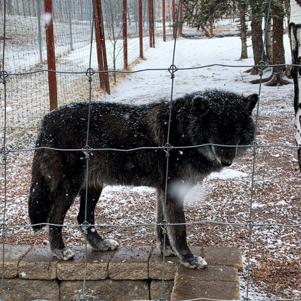 Black wolf at the Colorado Wolf and Wildlife Sanctuary